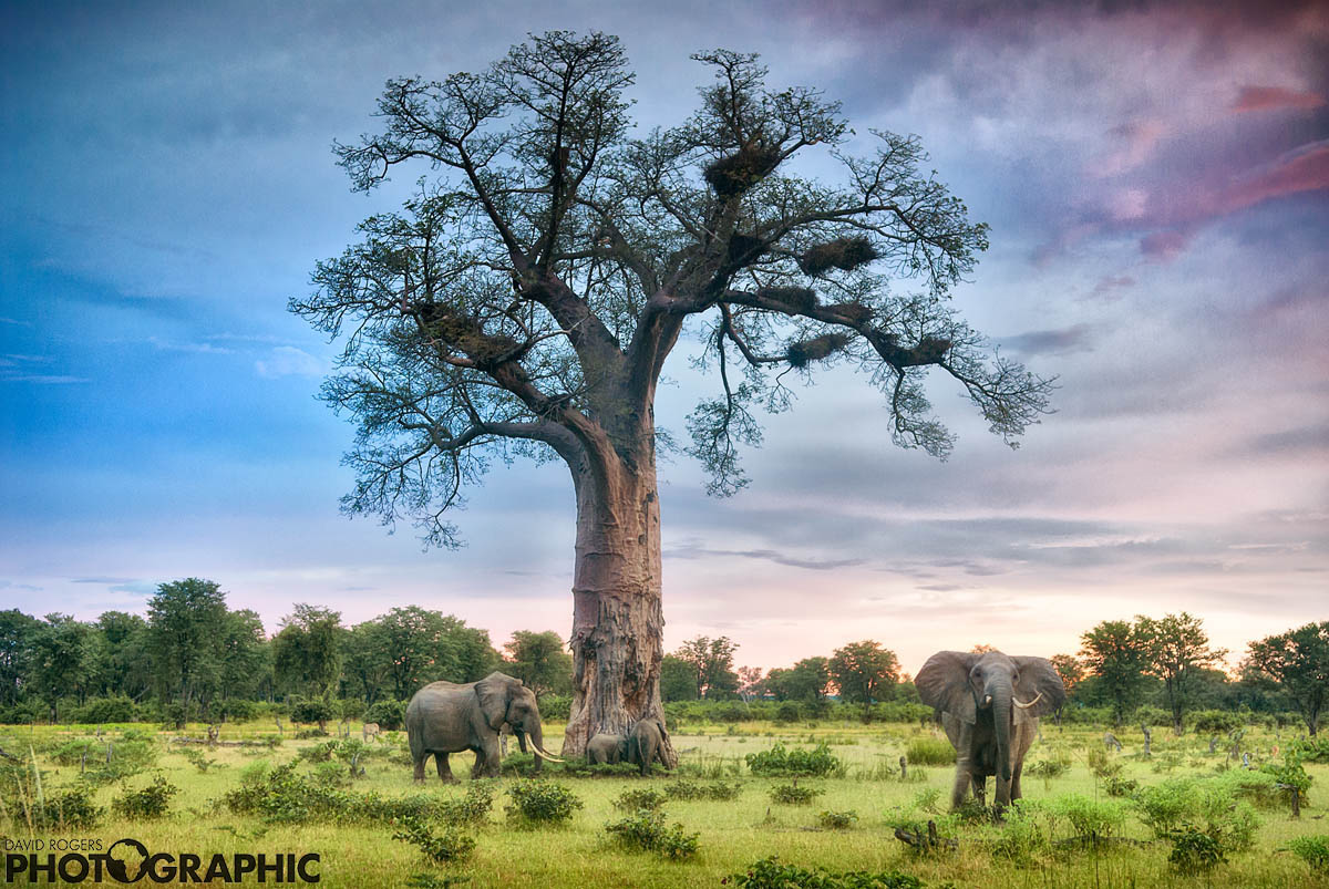 Luangwa giants  | 9 of 10 prints available | from R4500
