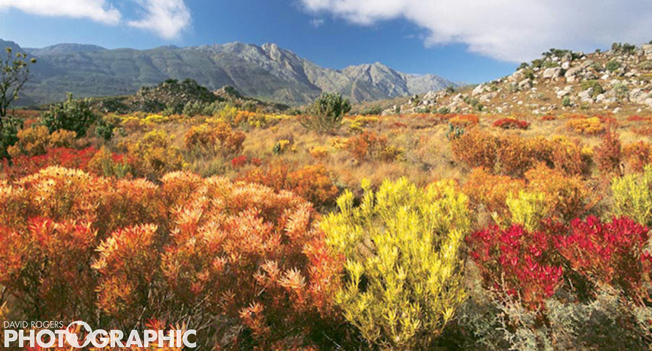 Fynbos in flower | 10 of 10 prints available | from R3500