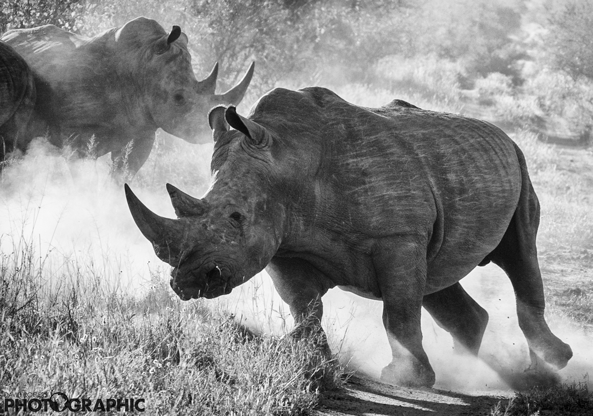 Rhino charge | 10 of 10 prints available | from R3500