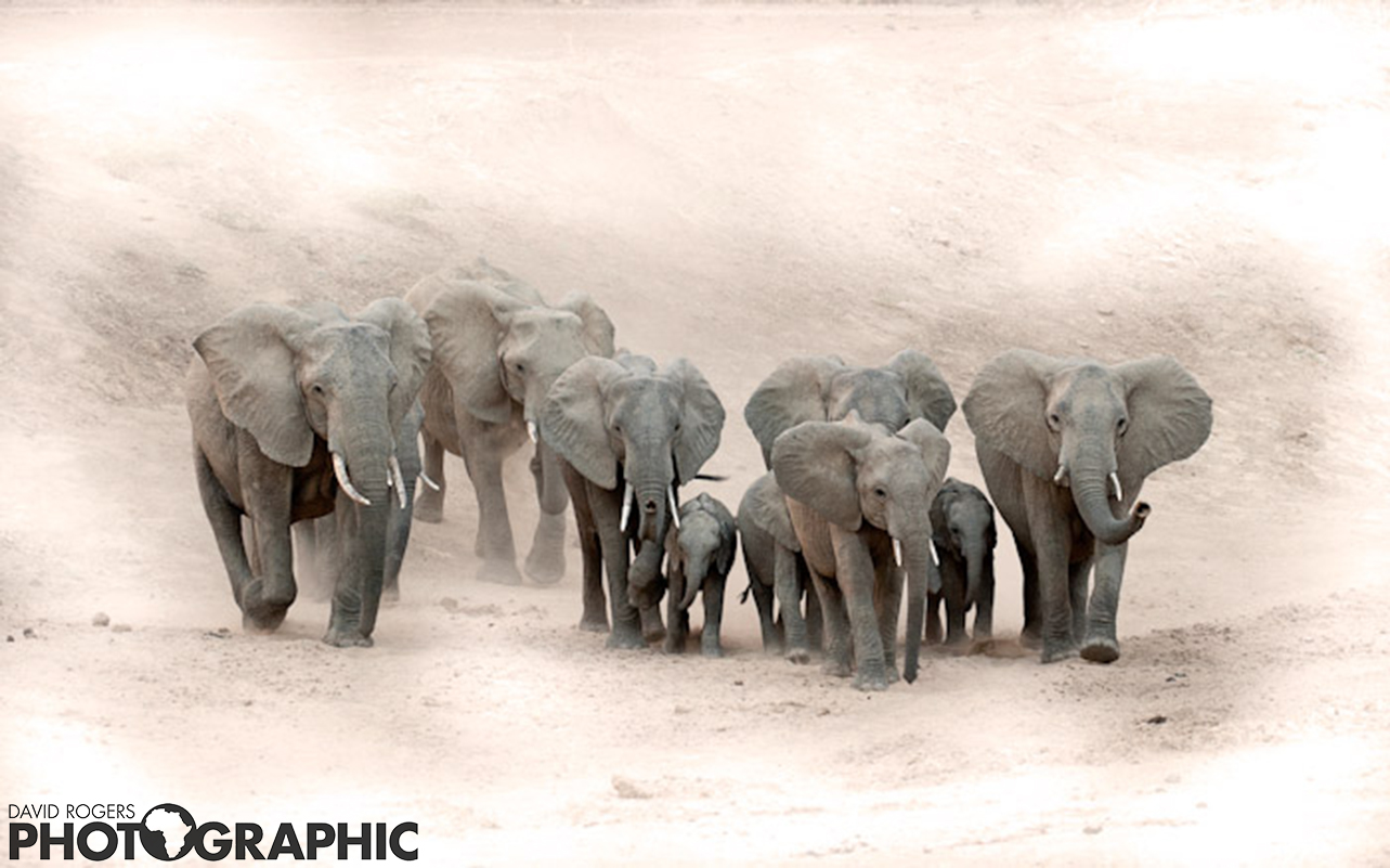 Luangwa herds | 10 of 10 prints available | from R3500