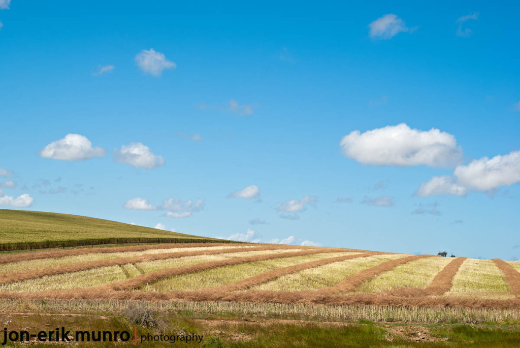 Striped canola fields | Edition of 20