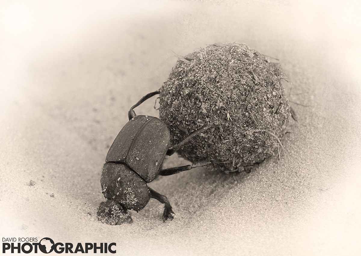Dung beetle | 10 of 10 prints available | from R3500